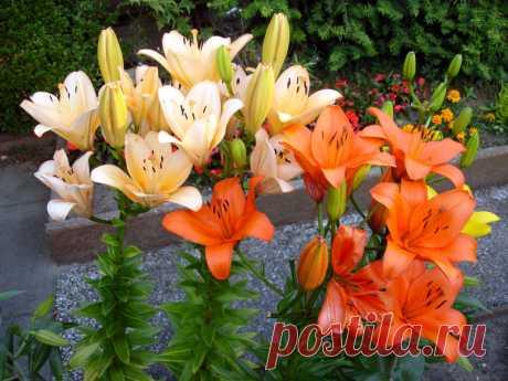 Когда пересаживать лилии: осенью, весной или летом?  Царственная и изящная красавица лилия – хотя и многолетний цветок, но на одном и том же месте десятилетиями выращивать ее не получится,иначе клумба окажется слишком загущенной, цветки с каждым годом …