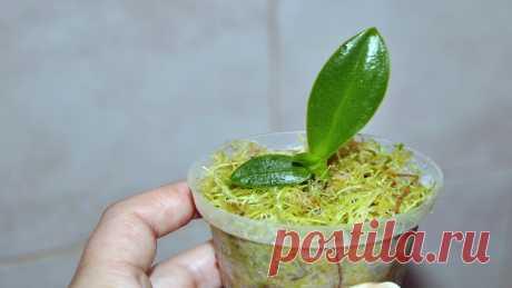 Способ размножения орхидеи без паст и гормонов. Оценят все любители этой красоты ...