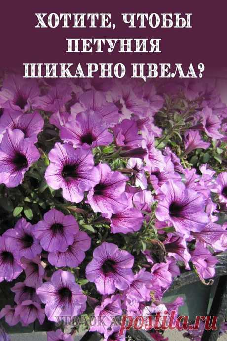 Чтобы петуния радовала вас пышным цветом, за ней нужно правильно ухаживать.
