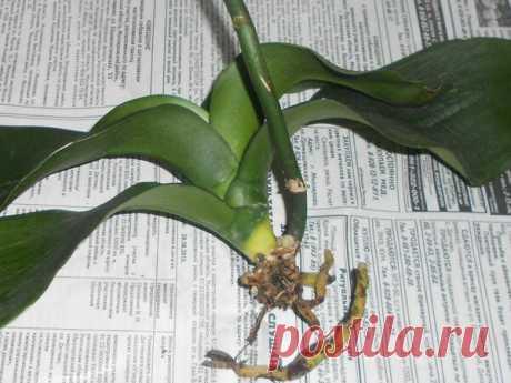 🆘 Как реанимировать орхидею, чтобы спасти цветок   Секреты Сада. Дача, цветы   Яндекс Дзен