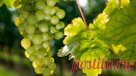 Главные болезни винограда и способы борьбы с ними