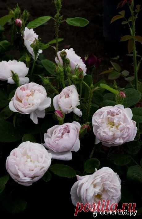 Старинные розы. Сорта. часть 3.: Группа Цветы и флористика