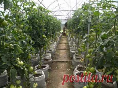 28 способов ускорить созревание томатов, перца, баклажанов и других овощей - Наша дача - медиаплатформа МирТесен