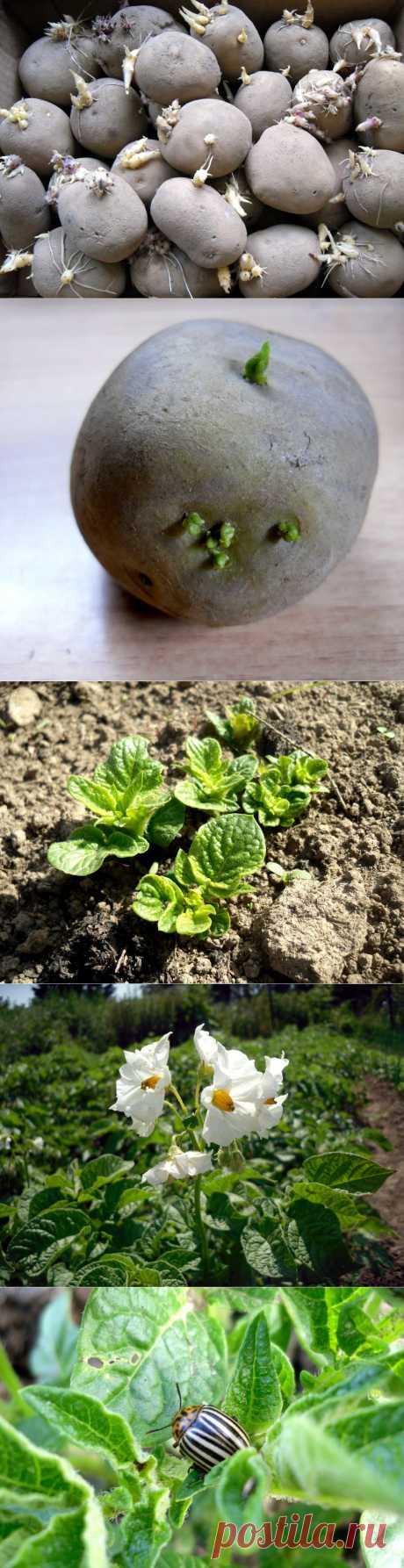 Выращиваем картофель. Подготовка посадочного материала, посадка,уход,выбор сортов. В марте огородники cредней полосы извлекают из хранилищ семенной картофель для проращивания. Чтобы хорошо подготовить посадочный материал, требуется от 35 до 40 дней.