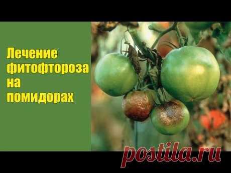 Фитофтора на помидорах: лечение народными и традиционными способами