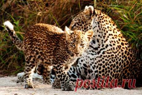 Упавшего в колодец леопарда спасли и вернули маме: трогательное видео