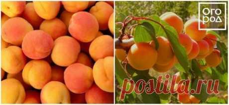 7 лучших зимостойких сортов абрикосов | Слива, алыча, абрикос (Огород.ru)