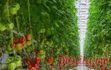 В течение лета подкармливаю помидоры три раза таким раствором. Итог – отменный урожай! В нашей семье все просто обожают помидоры. Мы едим их с огромным удовольствием. Однако, чтобы осенью радоваться щедрым урожаем, целое лето нужно беречь помидоры от вредного воздействия солнца, вредителей и различных болезней. Правильно выбранное место для рассады, грамотные удобрения и регулярный полив — вот и все, что нужно помидорам, чтобы вырасти вкусными и сочными. Как ни странно, но...