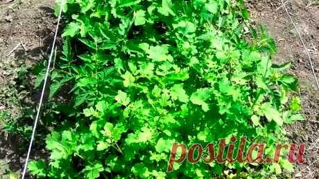 Отличный способ защитить томаты от вредителей и болезней. Посадка в горчицу | На даче | Яндекс Дзен