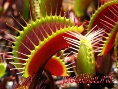 Венерина мухоловка или дионея - уход в домашних условиях с фото | Образцовая Усадьба