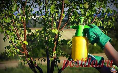 """Весной провожу обязательную обработку деревьев от тли, после которой вредители """"не мучают"""" весь сезон. Делюсь своим опытом   Огород от А до Я l Блог Светланы   Яндекс Дзен"""