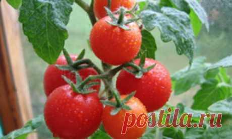Когда посадить и как вырастить помидоры на рассаду? Виды и сорта томатов.