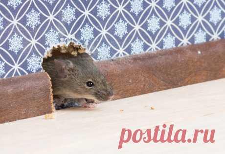 Простой способ избавиться от мышей в доме