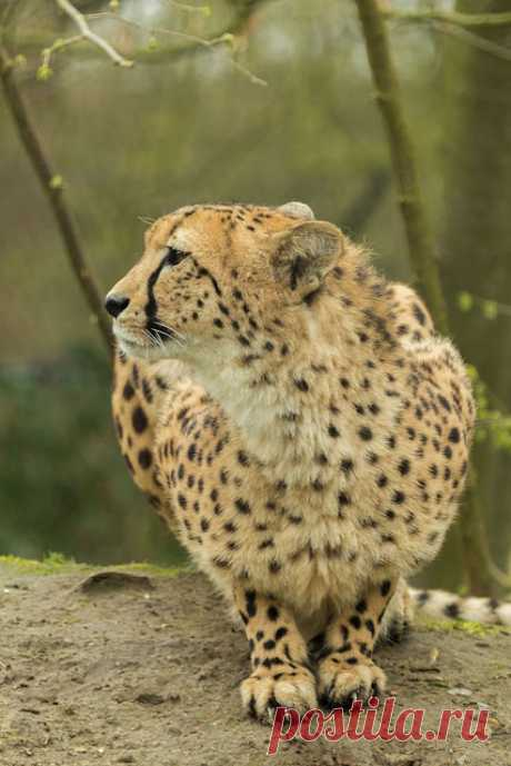 Cheetah | Planckendael-Belgium | Wendy de Roover | Flickr