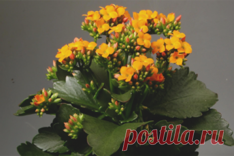 Как заставить каланхоэ цвести? Почему не цветет каланхоэ? Когда поливать каланхоэ? Каланхоэ зацветет 100% секрет. Сколько удобрять каланхоэ, чтобы зацвел?