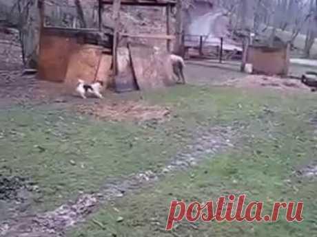 Овцебака... Овечка, которая выросла вместе с собаками, считает себя собакой и ведет себя соответственно - с удовольствием бегает и играет со своими четвероногими безрогими друзьями. Остальные овечки относятся к поведению овцебаки сдержанно, полагая его эксцентричным.