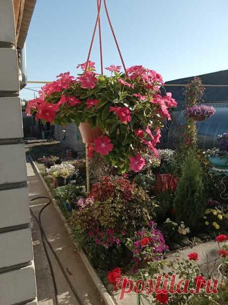 Ампельные цветы для кашпо или что посадить в следующем сезоне   Цветочное хозяйство   Яндекс Дзен