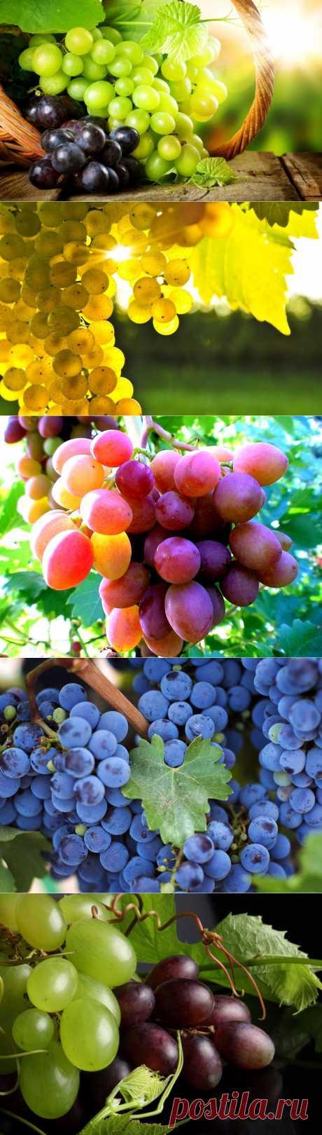 Интересные факты о винограде.