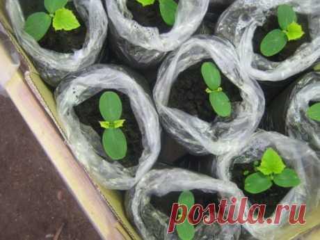 Огурцы : сильнее корни — больше урожай Существует эффективный метод выращивания раннего урожая огурцов — в среднем по 20-25 шт. с каждого куста. Урожай при использовании этого метода в несколько раз выше обычного. Продолжение на сайте: https://posovetuyu.ru/ogurcy-silnee-korni-bolshe-urozhaj.html