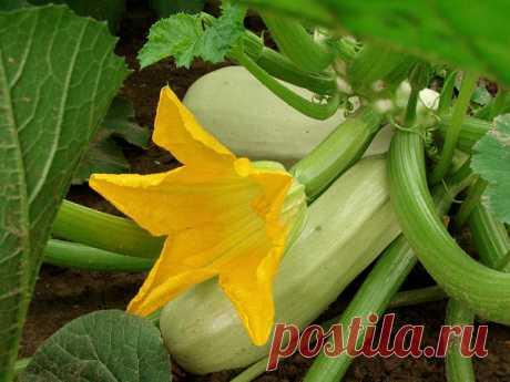 Хитрости выращивания кабачков:
