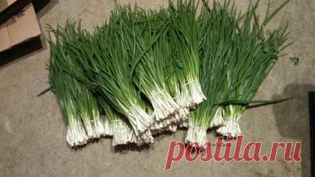 Лук на перо выращиваю только так! Мой ОПЫТ и самый простой проверенный способ! + результаты и сравнения | Садовый рай 🌱 |
