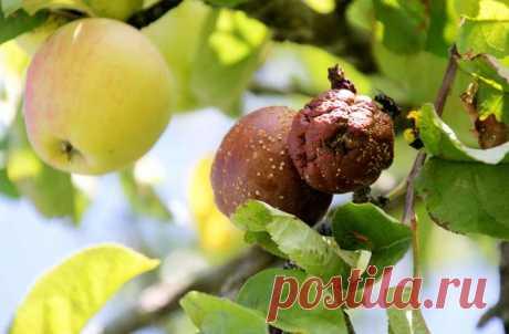 Яблоки гниют на деревьях: по каким причинам это происходит и как устранить проблему: