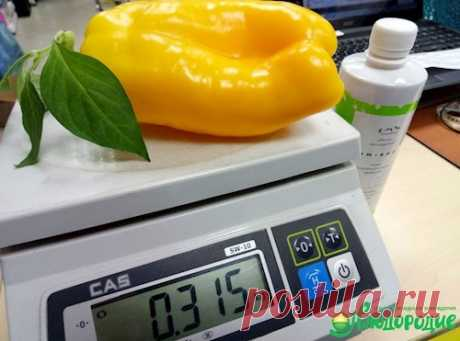 Как без труда вырастить перцы по 300 грамм?