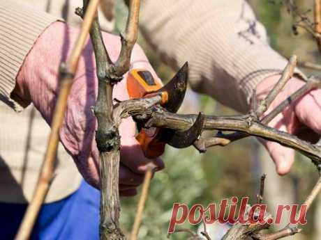 Как не надо обрезать виноград осенью – 5 ошибок новичков