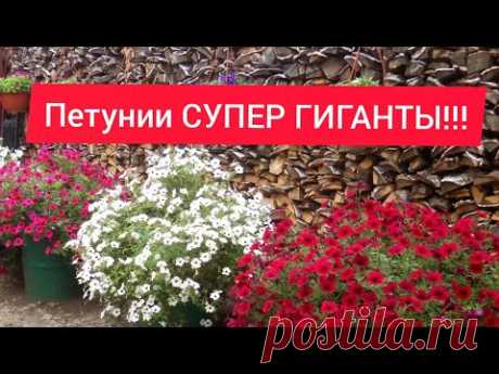 Посев петунии//Супер способ от Бориса Борисова!