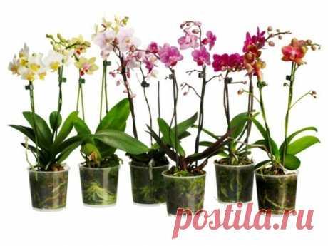 Как Одну Орхидею Превратить в Сто? Вы любите орхидеи, но боитесь, что не справитесь с уходом? | Naget.Ru