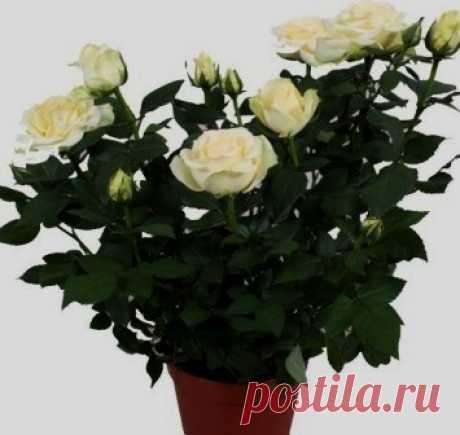 Комнатные розы – первые шаги