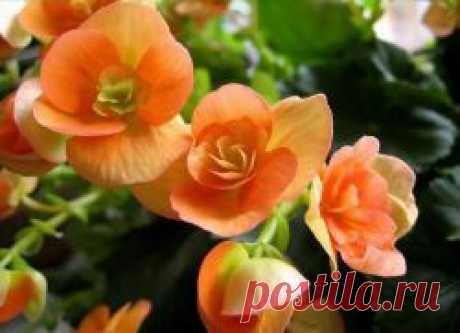 Бегония в домашних условиях зимой Совершенно неприхотливый цветок - бегония - растет на подоконнике практически в каждой квартире. Это растение любят не только за разнообразие оттенков и форм цветков, но также и за красивый рисунок листвы. Различают корневищные и клубневые виды – и те и другие весьма декоративны и в...