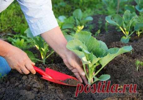 Секреты выращивания рассады капусты для лучшего урожая