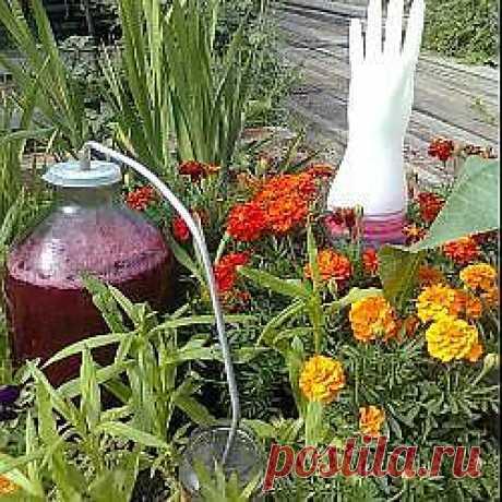Рецепт: Домашнее вино из красной смородины - все рецепты России