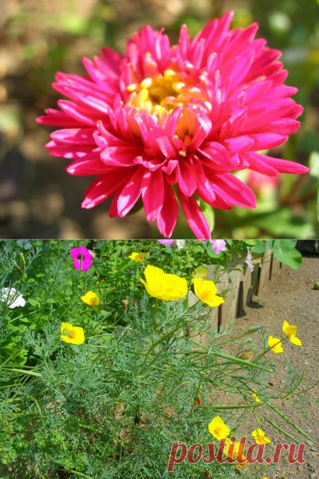 Однолетники, которые стоит сажать каждый год. Мои рекомендации и личный опыт!   6 соток. Светлана Аниканова   Яндекс Дзен #цветы #сад #дача #огород #цветник
