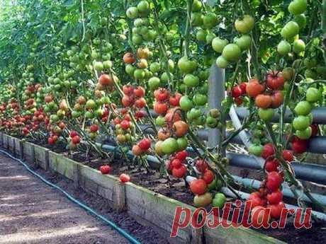 Борная кислота для помидоров и огурцов. Опрыскивание Предлагаем узнать о том, как используется борная кислота для помидоров. Опрыскивание защитит томаты от заболеваний, связанных с нехваткой бора.
