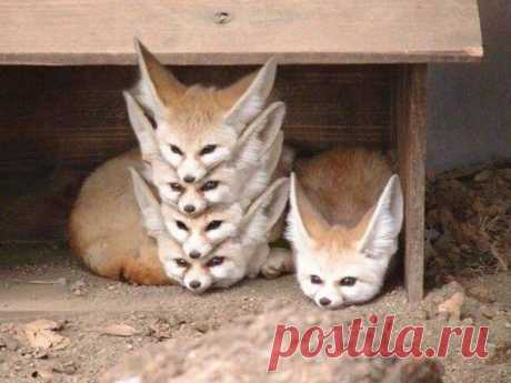 Фенек - пустынная лиса