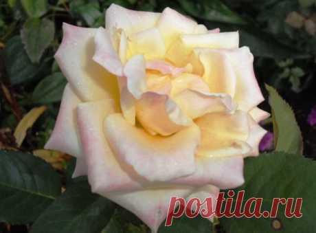 Подготовка роз к зиме. Когда укрывать розы?   Klumba-plus.ru   Яндекс Дзен