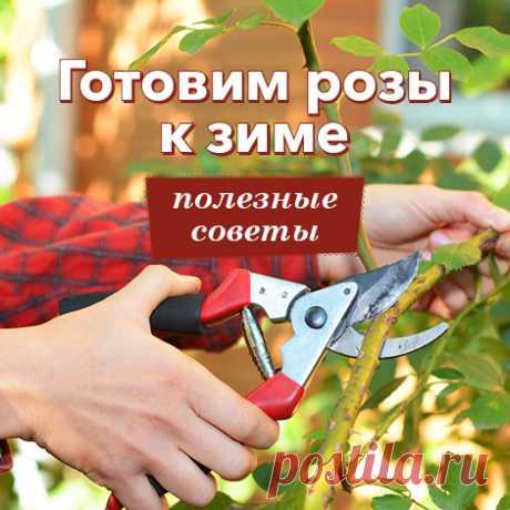 Все о пересадке роз осенью на другое место   Розы (Огород.ru)