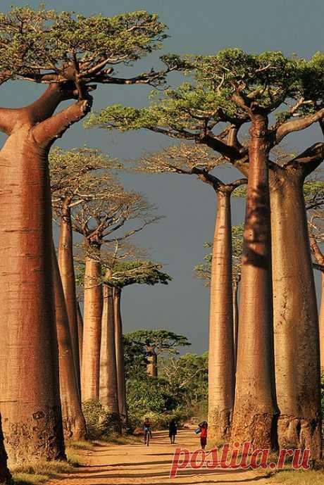 """Los árboles que crecen """"корнями"""" ¡hacia arriba! ¡Es el baobab potente!"""