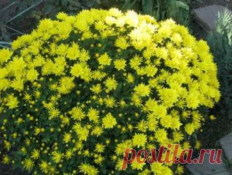 САДОВЫЕ МНОГОЛЕТНИКИ - хризантема шаровидная -150 руб
