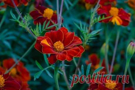 подпишисьhttps://vk.com/dacha_sad_usadba интересное сообщество!  БАРХАТЦЫ СЕЕМ ВЕЗДЕ!  Мы привыкли, что сажаем цветы только для того, чтобы радоваться их красоте, аромату. И никогда не задумываемся, что некоторые из них приносят не только эстетическое удовлетворение, но и пользу. Вот, например, бархатцы (чернобривцы). Такие цветы чаще сажают в городе на клумбах, чем у себя на даче. Первое обусловлено тем, что цветы не прихотливы и цветут все лето, хотя и являются однолетни...