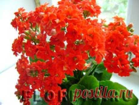 Каланхоэ: виды, выращивание и уход - Комнатные растения и цветы. Florets.ru