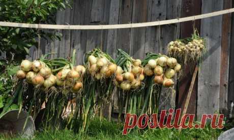 Как вырастить крупный лук - запомните 3 основных подкормки