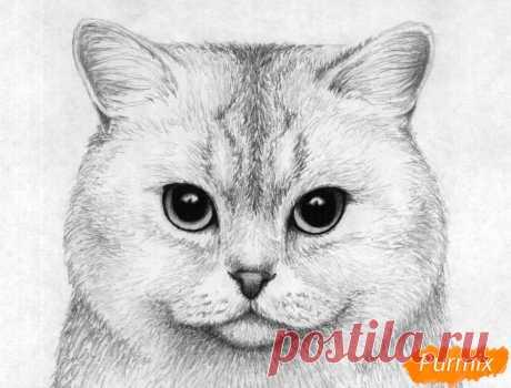 Как нарисовать портрет британской короткошерстной кошки