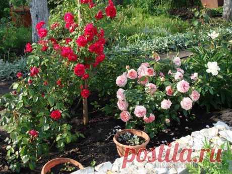 Что посадить рядом с розами Раньше было принято считать, что розы настолько самодостаточны, что не нуждаются в соседях. Но сегодня все большую популярность обретают смешанные посадки, в которых розы отлично гармонируют с другими...