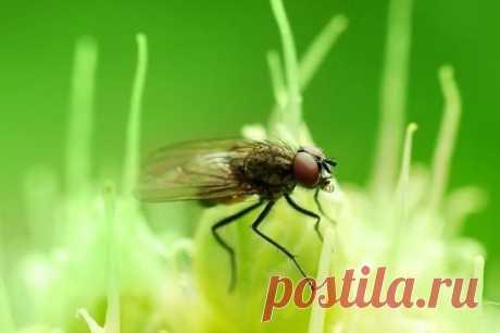 Луковая муха наносит большой ущерб, бесчинствуя на растениях семейства луковые. | OK.RU