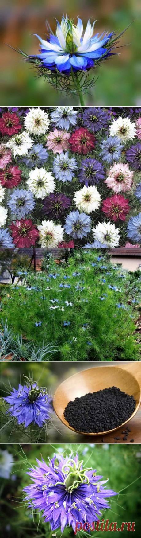 Выращивание нигеллы рассадой из семян и посев в открытый грунт | Дача - впрок