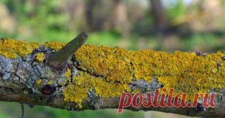 Как избавиться от мха и лишайников на плодовых деревьях?   В саду (Огород.ru)