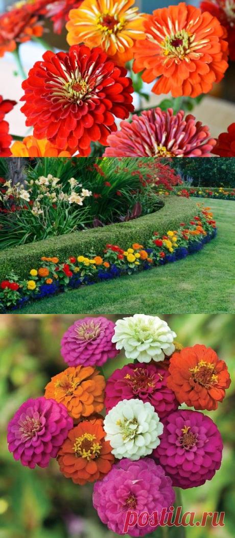 Циния - выращивание из семян: когда сажать, лучшие способы посадки, популярные сорта цветка